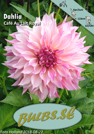 café au lait royal